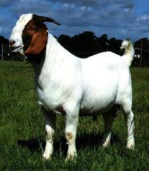 About Boer Goats