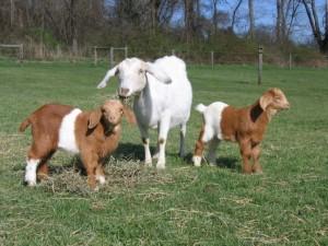 raising-goats-1